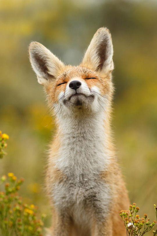 happy-fox